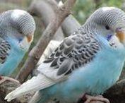 Aviarybirds budgies parakeets and more / Aviarybirds budgies parakeets and more