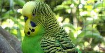 Green Budgies - Grasparkieten - Parakeets / www.parkieten-online.nl Aviarybirds – Aviary – Volièrevogels – Volière – Parakeets – Budgie – Parakeets –  Parkieten – Grasparkieten – Kooivogels – Lovebirds - Birdsbreeding