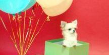 Ищу чихуахуа / Щенок в подарок! Ну кто не мечтал о таком сюрпризе? Каждый взрослый в детстве хотел получить в подарок щенка. Удивите своих близких необычным подарком, а мы поможем выбрать и воспитать вашу собаку. Обращайтесь, у нас большой выбор щенков чихуахуа