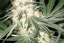 Weed / Weed Strains