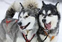The dog of my dreams / Alaskan malamute - the dog of my dreams. One day I will have one of these as my best friend.