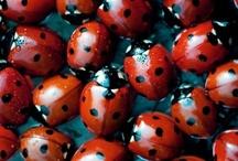 Lieveheersbeest / Ladybirds