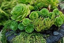 Plantes Succulentes