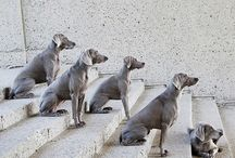 Animal Kingdom:  Dogs (Weims) / The Gray Ghost / by Tracy Lynn