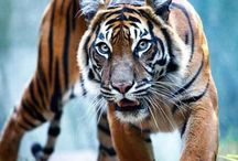 Tigers / Indomite spirit