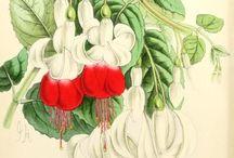 Vintage prints / Antique and vintage botanical prints