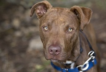 Adopt-a-Bulls in Portland / To spread the word about adoptable pit bulls in the Portland area