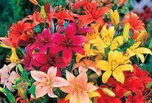 Garden: Lily Flower