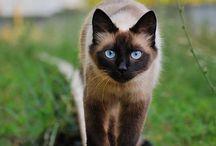 Siamese cat / Siamese Cat