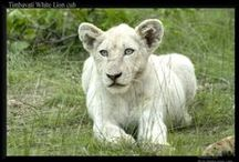 The Sacred White Lions and Kruger National Park / The Sacred White Lions and Kruger National Park - We will post the full details and the dates for 2016 shortly. Watch this space - this will be a trip of a lifetime!