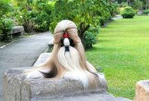 Long haired Shih Tzu / Long haired  Shih tzu