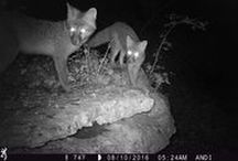 Furbearers / We can't forget about furbearers when it comes to great trail camera pictures! They are some of the most beautiful animals that often get overlooked in the trail camera world, so here is a collection of our favorite images.