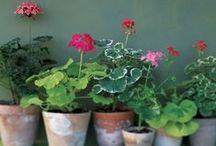 krukväxter/huonek / huonekasveja