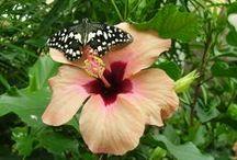 Hibiscus / L'hibiscus est connu pour être la fleur de l'amour.