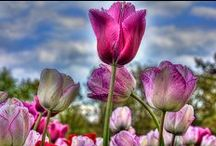 Flowers & Trees Photography / Flowers of the world,beautiful,colorful,small and large all types of flowers blooming and beautiful from the Caribbean,South America and Europe. Macro shots of the smallest of flowers to panorama photography of tulip fields of Holland, The Netherlands