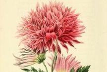 Flores Ilustraciones / Flowers Illustrations