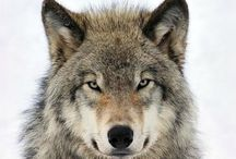 Wolves / A beautiful creature and my favourite animal - the wolf!
