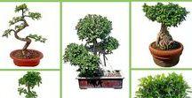 """Bonsai fák / A Bonsai fa vagy minifa az élő műalkotások kialakításának tudománya. A mini, """"edényben nevelt fákra"""" láthatsz itt szebbnél szebb példákat, és a Kertészetünkben kaphatóakat is belistázzuk időnként (ha rákattintasz és már nincs készleten, akkor itt keresd az újakat: https://www.fitoland.hu/kereso/bonsai)"""