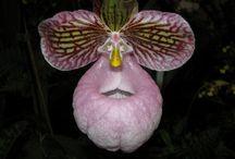 Fascinantes Orchidées / Les Orchidées forment une grande famille de plantes monocotylédones. C'est une des familles les plus diversifiées, comptant plus de vingt-cinq mille espèces, réparties en huit-cent-cinquante genres.                                                                Ma fleur préférée...