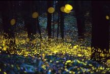 Fireflies in the Wood