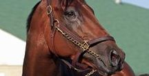 Cai/Horses