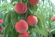 - ̗̀ peaches ̖́-
