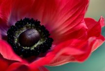 Poppies/Hellebores / by Beth Mclay