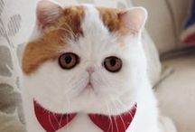 Exotic Shorthair Cat / My dream kitty, the exotic shorthair cat. So adorable with its flat face and chubby body!