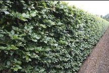 Fagus - beuk, beech, Rotbuche, hêtre / hedges, hagen, hecken, haies hedge, haag, heg, hecke, haie Fagus sylvatica instant hedge erfafscheiding, schutting, kant-en-klaar, instant