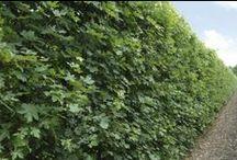 Acer campestre - veldesdoorn, field maple, Feld ahorn, érable champêtre / hedges, hagen, hecken, haies hedge, haag, heg, hecke, haies Acer campestre instant hedge erfafscheiding, schutting, kant-en-klaar, instant