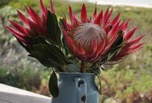 Spring 2015 South Africa / September First is Spring Day in the Southern Hemisphere. This is a board on all the fantastic things that make up spring in South Africa.