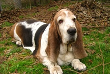 Basset Hound ( His Majesty ) / by Vesna Vujovic-Utjesinovic