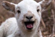 Adoroooooo Ovelhas / Adoro ovelhas