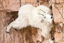 Sometimes goats / Sometimes goats