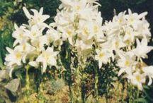 lilie bílá