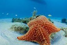 Starfish / Sea Star
