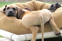 Mastiff / One of my fave breeds