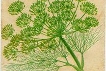 Herb Garden / Herbs and spices - Bylinky a koření