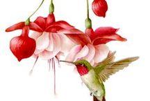 Hibiscus, Fuchsia