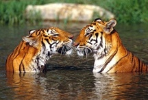 Tigers & More / Wild Cats from around the world / by Janet Romano