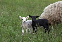 the sheep of His pasture, psalm 100:3 / by Jackie Cavitt