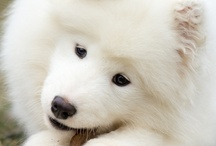 Puppies :D  / Pictures of cute puppies, mostly samoyeds.