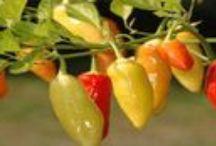 Ají / Cukltura del aji, propiedades y delicosos platos