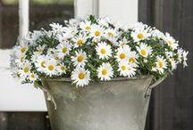 flowers / kvety