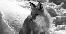 • ANIMALS | Foxes
