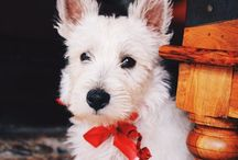 Oban of High Riding / If life gives you lemons ....get a Westie to sweeten the deal :)
