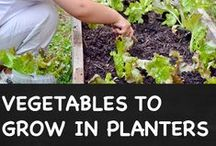 Vegetable Planting For Novices / For those of us who are new to gardening but would love to grow our own vegetables
