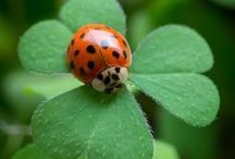 Ladybugs aka Ladybirds / by Ellie Meehan