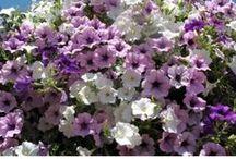 Summer flowers/Annuus