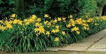 Hemerocallis/Daylilies